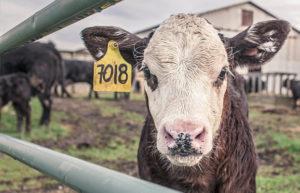 Vedell de granja amb etiqueta numerada a l'orella. Il·lustra un article sobre el consum de carn.
