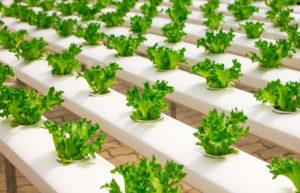 Lechugas plantadas en tablas de cultivo. Alimentación bio.