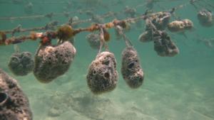 Granja de esponjas marinas. Algunas especies son usadas como esponjas marinas menstruales